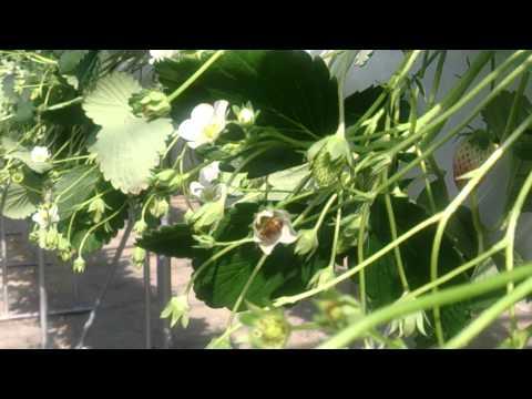 蜜蜂異常行動