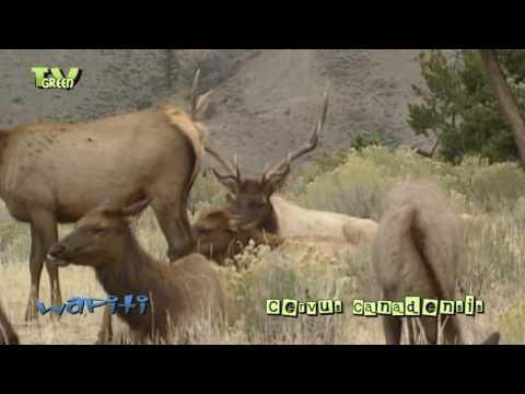 C a m e r a T a l k: Yellowstone National Park -  Wapiti Mating Season