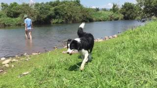 2016.8.8撮影。 ボーダーコリー8ヶ月の女の子。 暑い日には、川遊びで気...