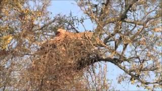 未知のオスのヒョウは、魚のワシの巣の25メートルまで南アフリカのクル...