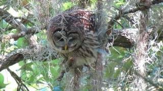 barred owl at circle b lakeland fl