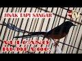 Murai Vulcano Jinak Di Rumah Tampil Ganas Di Piala Dandim  Pbg Milik Budi Voc Pwt  Mp3 - Mp4 Download