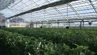 Ниигата (Япония) Клубничная ферма; 2009 год; Одиссея (Odyssey TV)