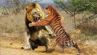 Tigre vs Leão - Quem é mais Forte ?