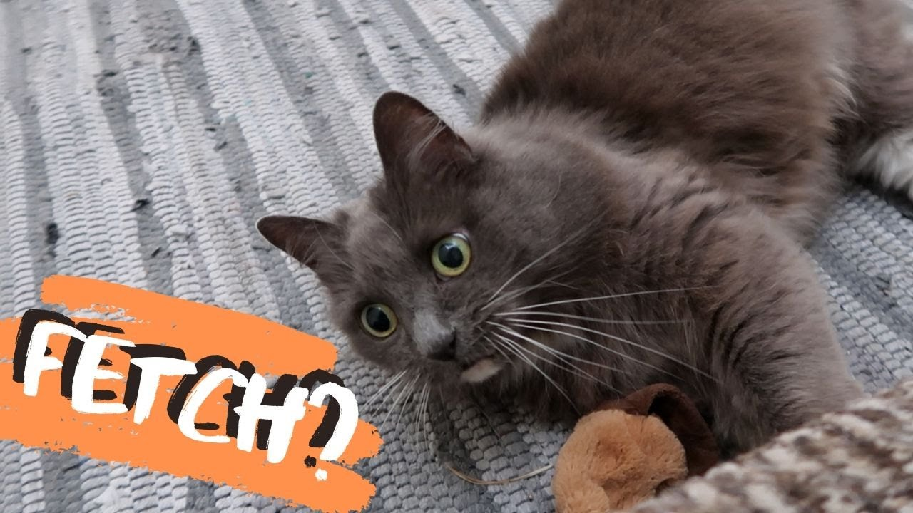 Can A Cat Play Fetch?