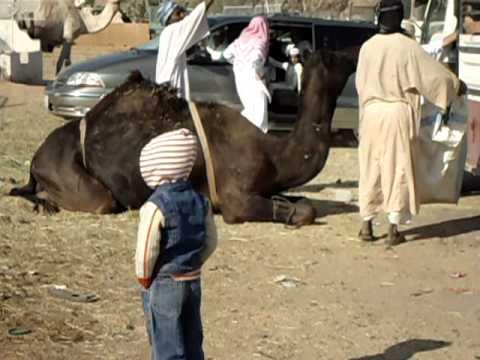 qurbani camel run | FunnyDog.TV