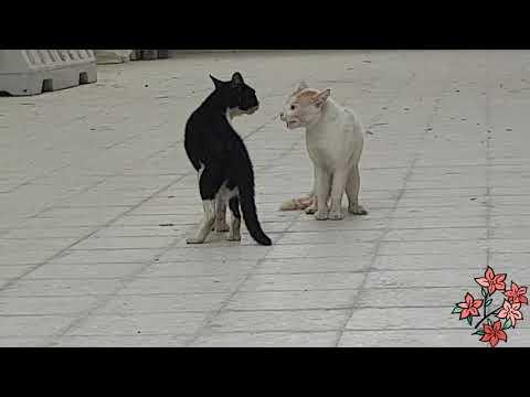 Cat Fight Cats Fighting