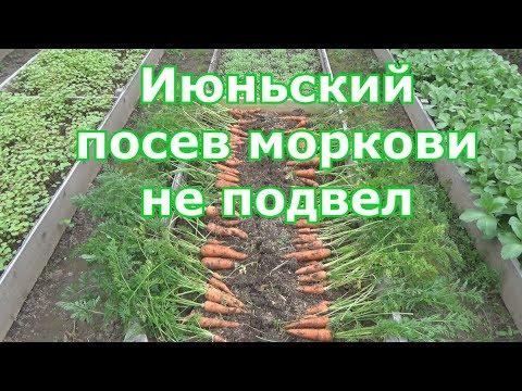 Результат июньского посева моркови