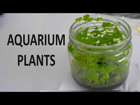 Emersed Plants for Aquarium   Update on HC Cuba