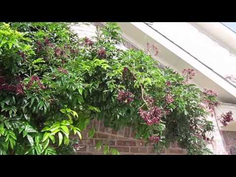 Evergreen Wisteria (Millettia Reticulata), Lisa's Landscape & Design, Plant Pick Of The Day.