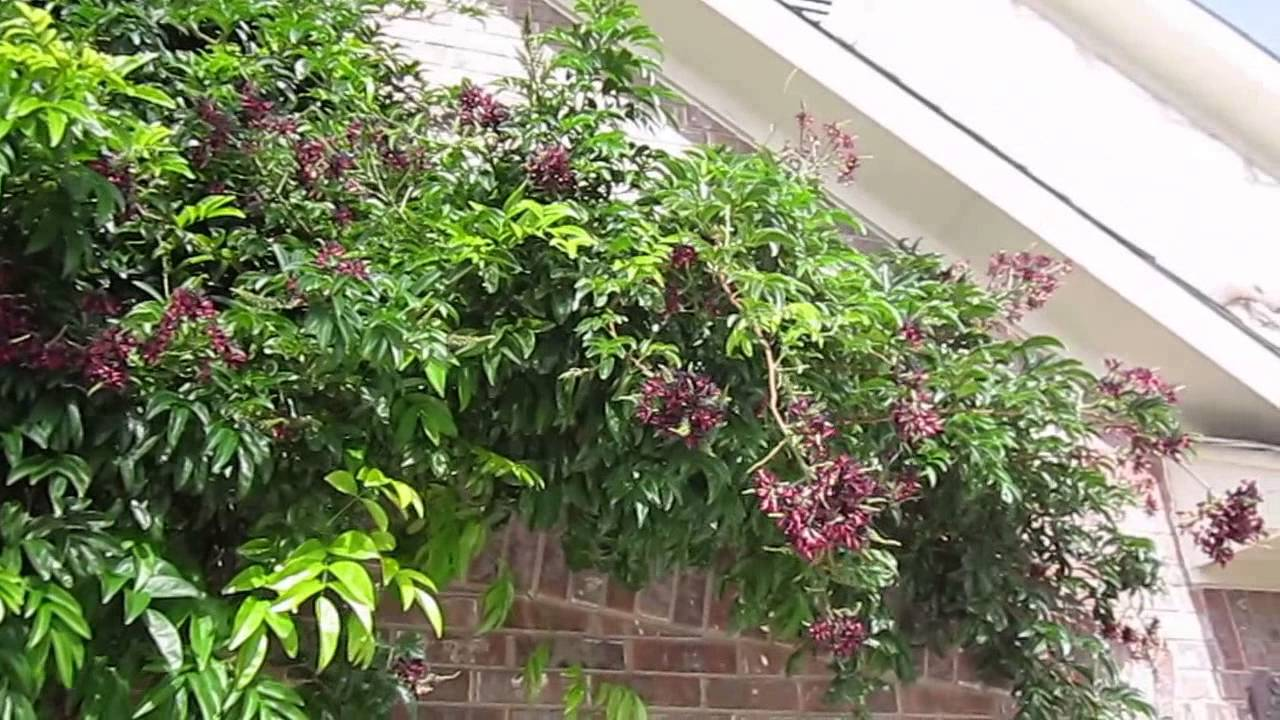 evergreen wisteria millettia reticulata
