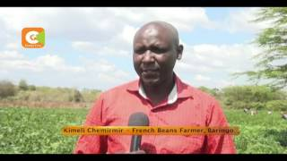Teaser smart farm French beans in Baringo