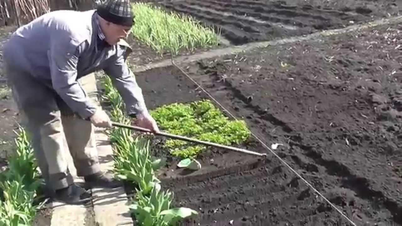 Как посеять петрушку. Петрушка на даче