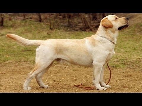 Description Labrador Retriever