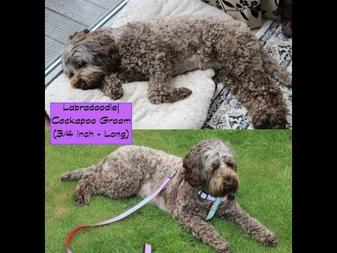 How to groom a Labradoodle/Cockapoo - Body - (Clippers|Long)