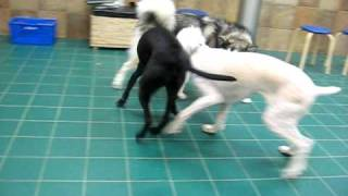 Gigi Playing With Her Friends At Petsmart's Advanced Dog Training Class