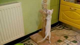Белка - кошка без лапки.