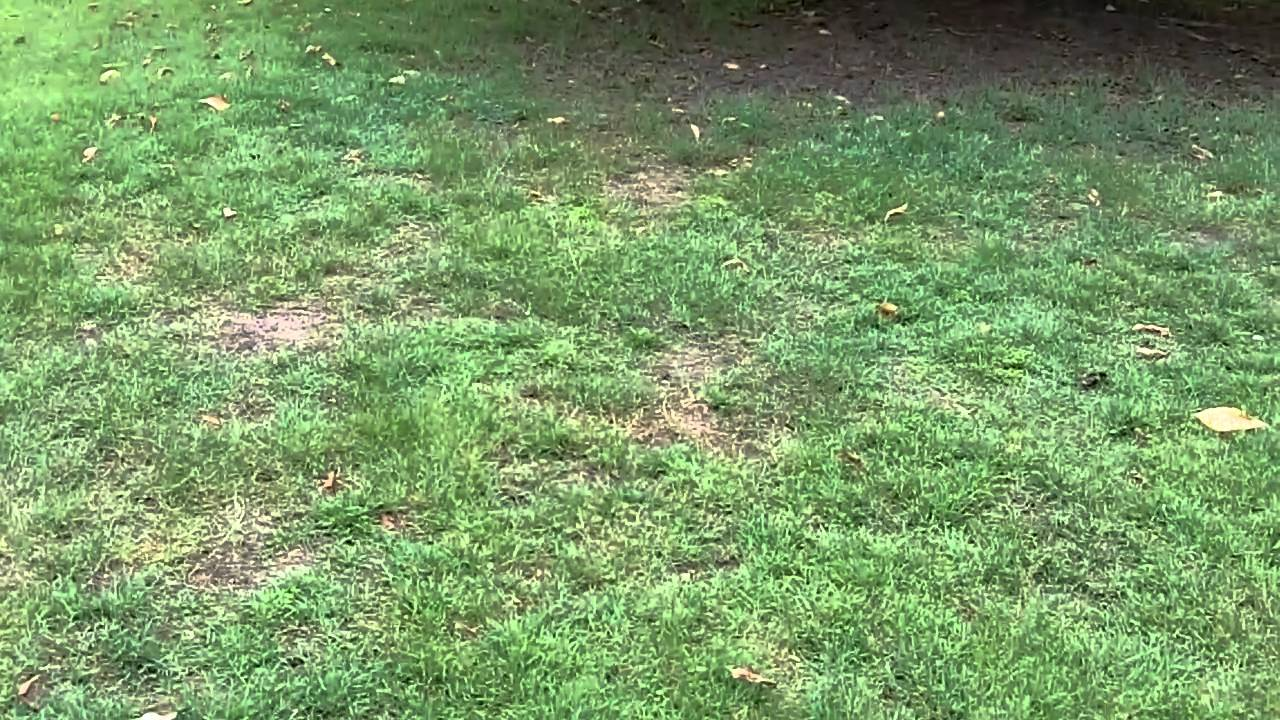 Couch Lawn Care Queensland Blue Couch Lawn Grubs