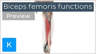 Functions of the biceps femoris muscle (preview) - Human 3D Anatomy  Kenhub