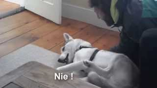 Ten pies potrafi mówić ! Niewiarygodny Husky ! Napisy PL