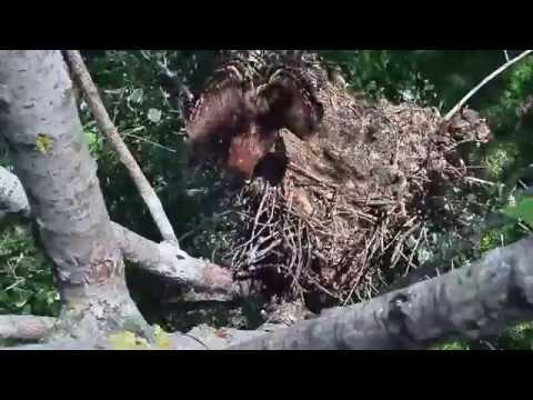 Leszakadó parlagisas-fészek / Falling Imperial Eagle