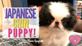 8 week old Japanese Chin puppy!