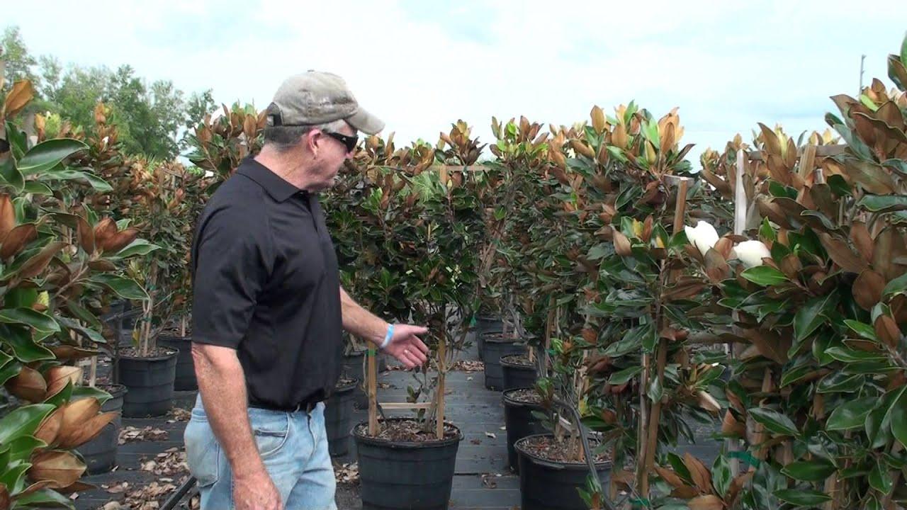 Espalier 15 gal little gem magnolia youtube sciox Gallery