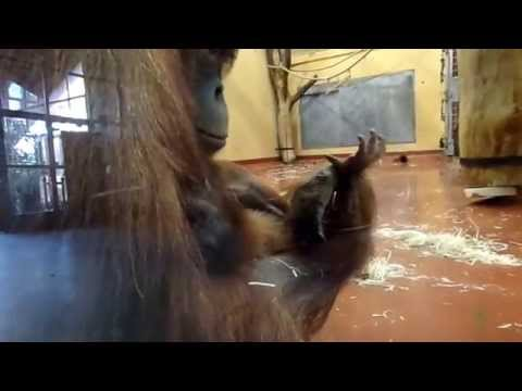 Sumatran Orangutan Baby with her Mom at the Budapest Zoo