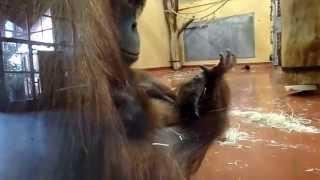 Sumatran Orangutan Baby with her Mom at Budapest Zoo