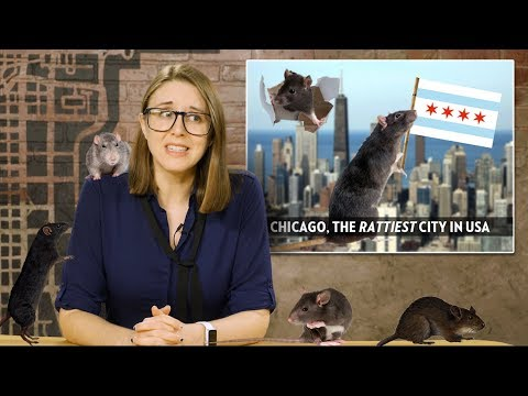 "Rats! Chicago is America's ""Rattiest"" City 