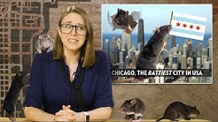 """Rats! Chicago is America's """"Rattiest"""" City 