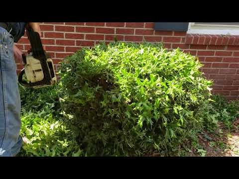 Trimming bushes with a chain saw