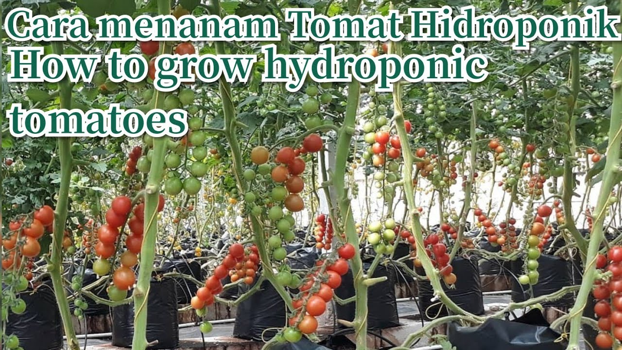 Cara Menanam Tomat Hidroponik Di Polybag How To Grow Hydroponic Tomatoes Drip Irrigation System Youtube
