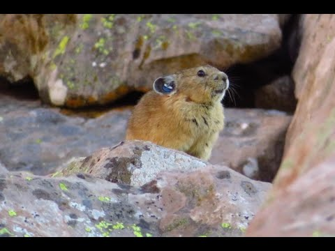 """Naturalist Nights - """"Too Hot to Trot? Pika Ecology in a Time of Global Change"""""""