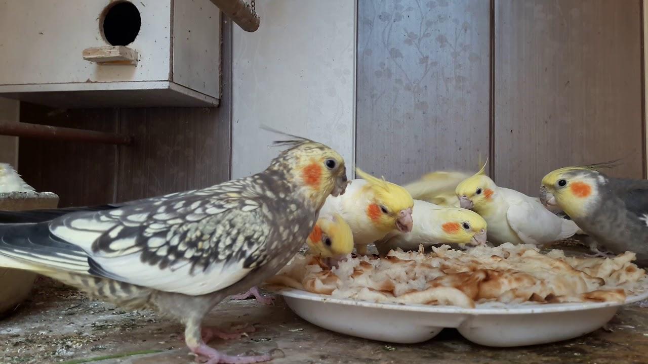 اكل المفضل للطيور كوكتيل الخبز Youtube