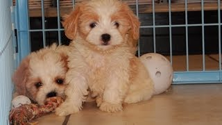 Cavachon, Puppies For Sale, In, Nashville, Tennessee, Tn, County, 19breeders, Knoxville, Smith