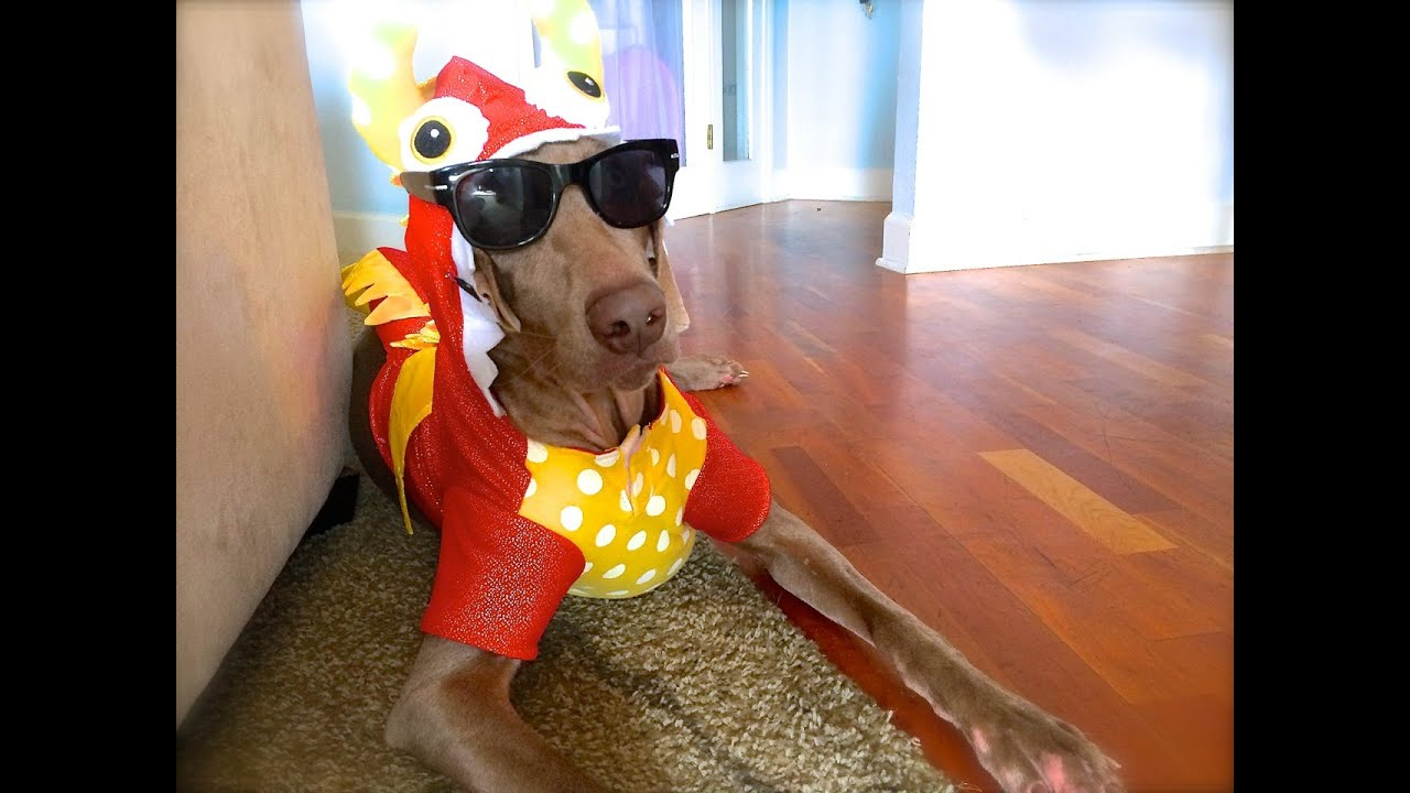 Funny Weimaraner Wearing Costumes My Name Aint Daniel Tiger Music