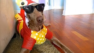 Funny Weimaraner Wearing Costumes - My Name Aint Daniel Tiger Music Video