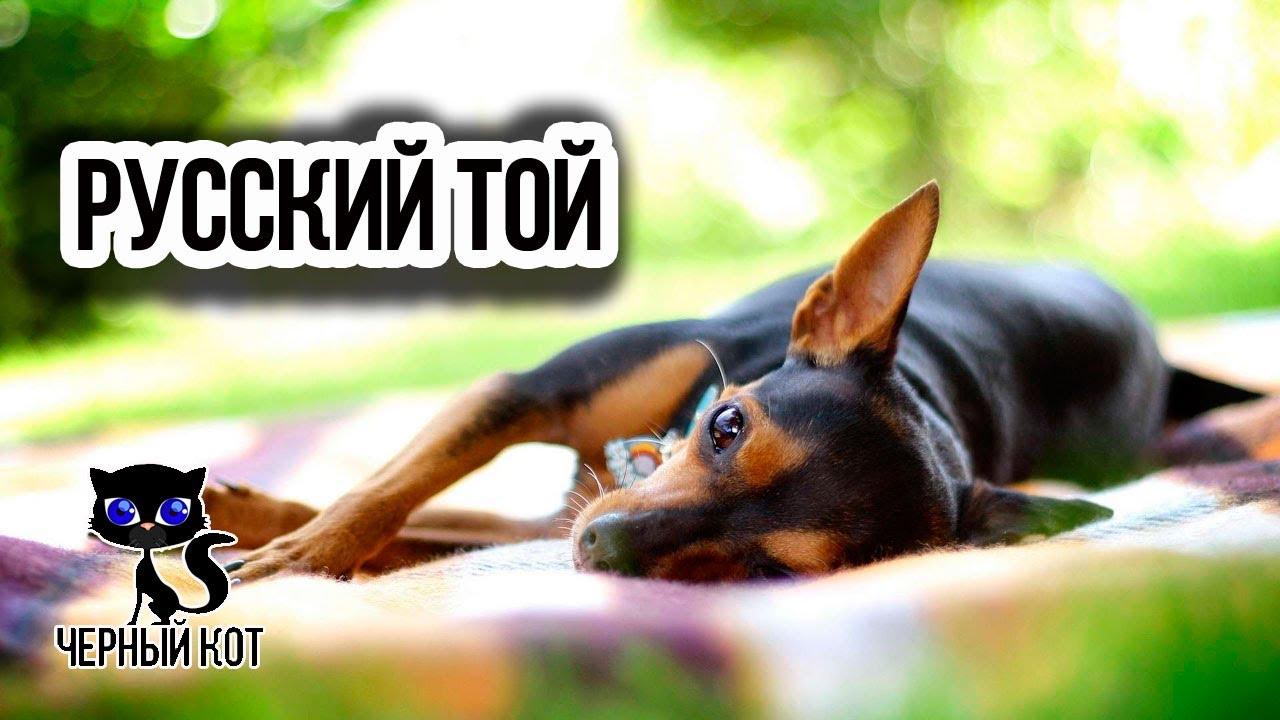 ✔ РУССКИЙ ТОЙ – очень молодая порода собак, получившая признание в 2006 году / Интересное о собаках