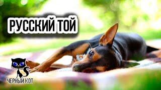 Русский той (той терьер) / Интересные факты о собаках
