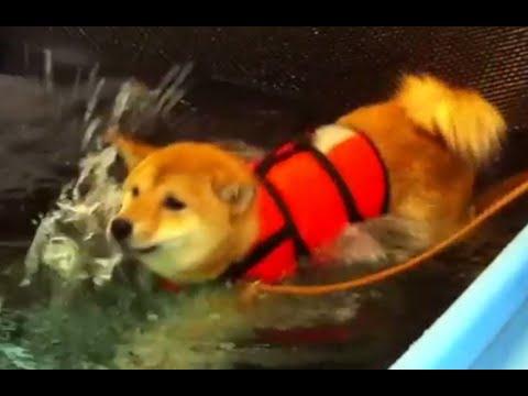 Cute Shiba Inu Swimming!