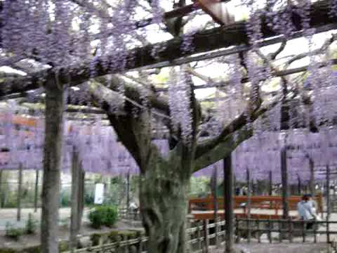 Wisteria Festival In Tsushima City In Japan YouTube - Beautiful wisteria plant japan 144 years old
