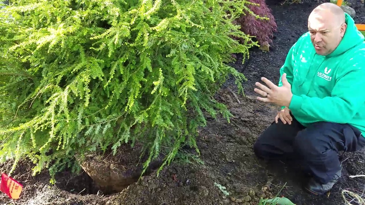 How To Plant A Canadian Hemlock With Roger (The Garden Guy) Waleri
