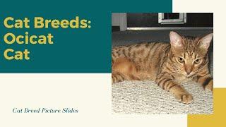 Ocicat Slides  Cat Breeds
