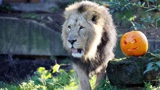 Animals celebrate Halloween at ZSL London Zoo