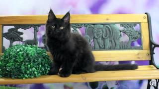 Котенок мейн кун Lavanda Grey Claw`s в 2,5 месяца, питомник мейн-кунов http://coonplanet.ru/