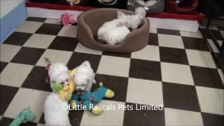 Little Rascals Uk Breeders New Litter Of Zuchon Puppies