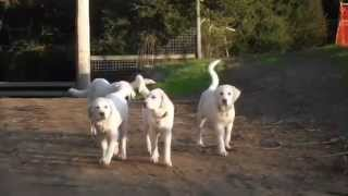 Devils Gulch Ranch Livestock Guardian Dogs and Puppies