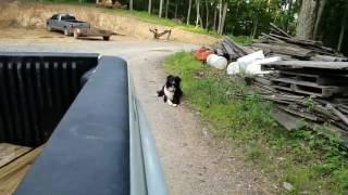 Border Collie Running (Slow motion)