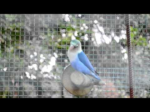 New Aviary for my Lovebirds